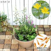 メダカのビオトープセット アサザ+楊貴妃メダカ+水辺植物3種 あぜなみ付