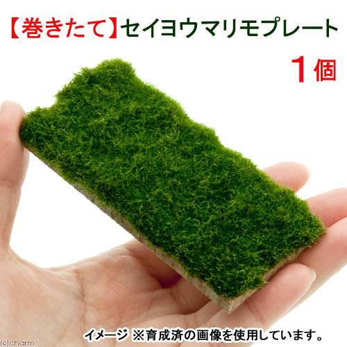 (水草)巻きたて セイヨウマリモ プレート(無農薬)(1個) 北海道航空便要保温