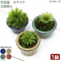 苔盆栽 オオカサゴケ 豆鉢植え(1鉢)