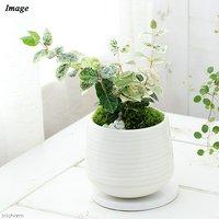 ハツユキカズラ 陶器鉢植え もえS WH(1鉢) 受け皿付き 北海道冬季発送不可