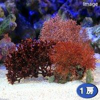 海藻 おまかせガラガラ 1種(1個)