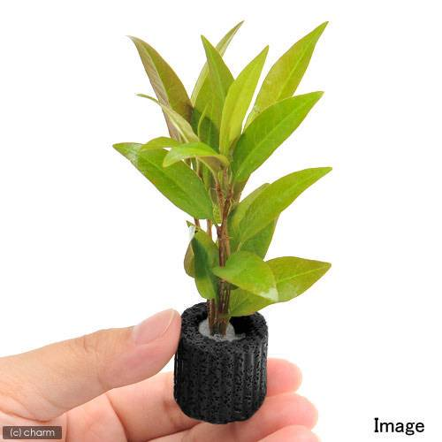 (水草)マルチリングブラック(黒) ポリゴナム ベタンクレア(水上葉)(無農薬)(1個)