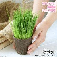 長さで選べる イタリアンライグラス 直径8cmECOポット植え(長め)(無農薬)(3ポット)