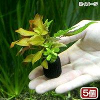 マルチリングブラック(黒) 寄せ植えミックス(水中葉)(無農薬)(5個)