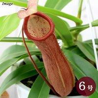 ウツボカズラ ネペンテス リンダ 5~6号(1鉢)(吊り鉢タイプ)