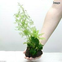 Plants Arrangement ザ ボンサイ Ver.35(1個)