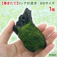 巻きたて リシア付き流木 SSサイズ(約10cm)(無農薬)(1本)
