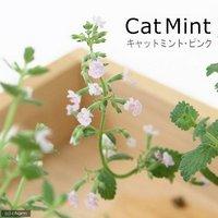 ハーブ苗 ミント キャットミント ピンク 3号(1ポット) 家庭菜園