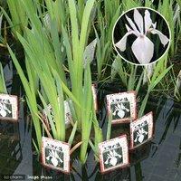 水辺植物 カキツバタ 三河の海(1ポット)白花 休眠株