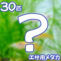 生餌 エサ用メダカ/えさ用めだか(30匹)