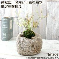 苔盆栽 おまかせ食虫植物 抗火石鉢植え(1鉢)