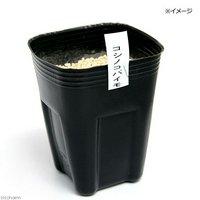 コシノコバイモ(越の小貝母) 2.5~3号(1ポット)(休眠株)