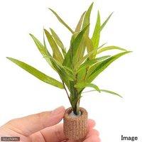 ライフマルチ(茶) ポリゴナムsp.ピンク(水上葉)(無農薬)(1個)
