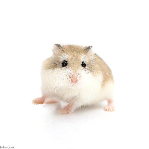 【店舗販売】(小動物)ロボロフスキーハムスター(1匹)