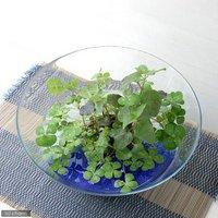 水辺植物  私の小さなアクアリウム ~シャリシャリグラスの幸せムチカ&ウォーターミントセット~