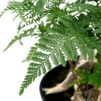 シノブ ジャンボシノブ 小判鉢植え 7号(1鉢) 北海道冬季発送不可