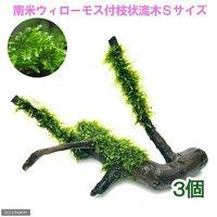 育成済 南米ウィローモス 枝状流木 Sサイズ(約10cm~)(無農薬)(3本)