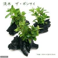 流木 ザ ボンサイ Sサイズ(水上葉)(無農薬)(1本)(約15cm)