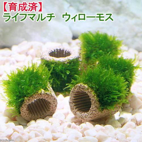(水草)育成済 ライフマルチ(茶) ウィローモス(無農薬)(3個)