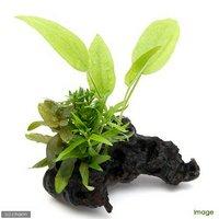流木 ザ ボンサイ Ver.エキノドルス Sサイズ(水上葉)(無農薬)(1本)(約15cm)