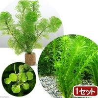 ライフマルチ(茶) メダカ金魚藻セット(1セット)+おまかせ浮き草1種(3株)