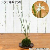 苔玉 シラサギカヤツリ(1個) 観葉植物 コケ玉