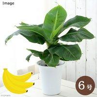 バナナ 三尺バナナ 6号(1鉢) 北海道冬季発送不可