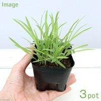 ペットリーフ キビの苗 3号(無農薬)(3ポット)黍の苗 きびの苗 猫 うさぎ 鳥 おやつ