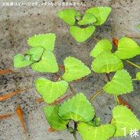 水辺植物 ヒシモドキ(1株) 浮葉植物