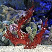 海藻 トサカノリ(1房)