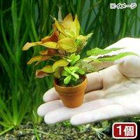 プチ素焼き鉢 寄せ植えミックス(水中葉)(無農薬)(1鉢)