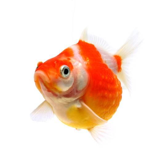 (国産金魚)ちょうちんパール(1匹)