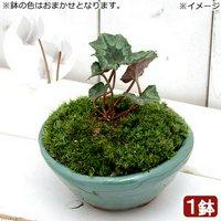 苔盆栽 原種シクラメン ヘデリフォリウム 白花 平小鉢植え 鉢色おまかせ(1鉢)