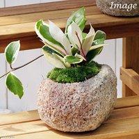 苔盆栽 ホヤ カルノーサ(サクララン) 抗火石鉢植え Mサイズ(1鉢)