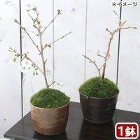 苔盆栽 サクラ(桜)富士桜 穴有益子焼植木鉢(還元)(1鉢) (休眠株)