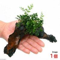 ボルビティスsp.ベビーリーフ付 流木 Sサイズ(1本)(約15cm)