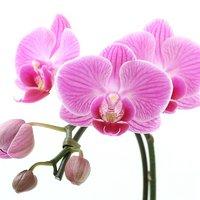 苔玉 マイクロ胡蝶蘭 Ver.這苔(1個)