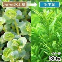 ロタラsp.グリーン 丸葉タイプ(水上葉)(無農薬)(30本)