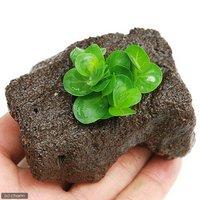 ロタラ ロトンディフォリア ベトナム産(水上葉) 穴あき溶岩石付(無農薬)(1個)
