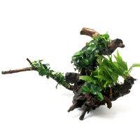 一点物 巻きたて 活着性水草 2種付 枝状流木(450097)(1本)