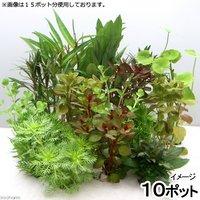 おまかせ水草ミニポット 10ポットセット(水上葉)(無農薬)