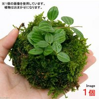 溶岩石苔玉 Ver.ミニ観葉(1個) 観葉植物 コケ玉