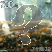 生餌 エサ用川魚 Sサイズ(100匹)