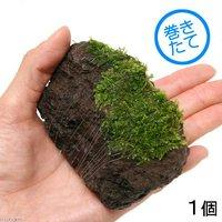 巻きたて 南米ウィローモス 富士ノ溶岩石 Sサイズ(約7~9cm)(無農薬)(1個)
