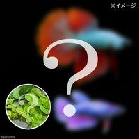 ベタスーパーデルタテール 色指定なし(おまかせ浮き草3種セット付き)(1ペア)