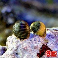 貝 海洋性カノコガイ Sサイズ コケの掃除(9匹)