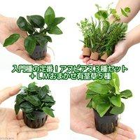 入門種の定番!アヌビアス3種セット(ナナプチゴールデン)(計3ポット)+LMおまかせ有茎草5種(5個)