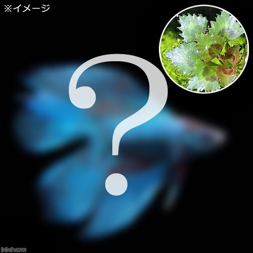 (熱帯魚)(水草)ベタ・ダブルテール 色指定なし オス(ヒシ1株付き)(1匹) 北海道・九州航空便要保温