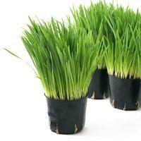 ペットグラス 燕麦 うさぎちゃんの草 3号(10ポット) 無農薬 生牧草 うさぎのおやつ