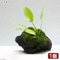 おまかせエキノ1種&ウィローモス 穴あき溶岩石付(無農薬)(1個)
